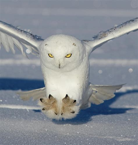 Duvet Cover Gray Snowy Owl Attack Photograph By Rob Palmer