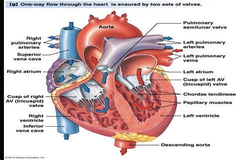 flow of blood through the diagram diagram blood flow through anatomy organ