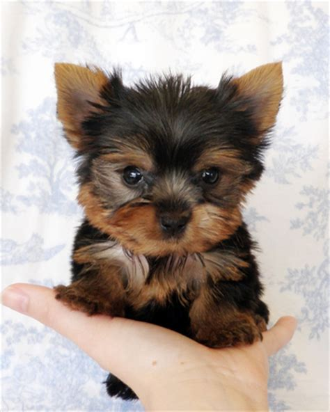 yorkie hair or fur aloha friday pets momspotted
