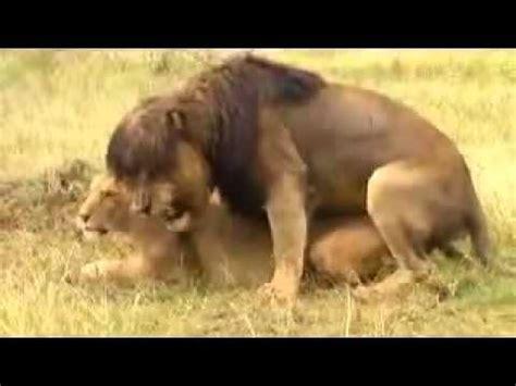 imagenes leones apareandose videos apareamientos leones videos videos relacionados