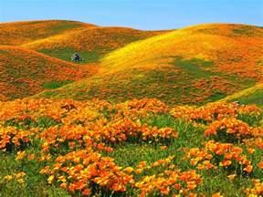 california poppies deedeeflower wallpaper 19543734 fanpop