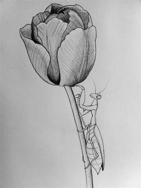 pencil drawings tattoo designs mantis tulip line by darcydoll on deviantart tulip