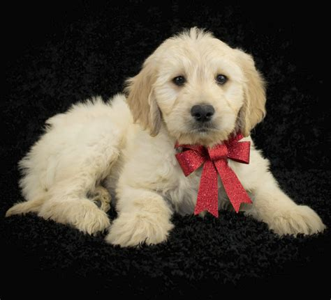 puppy doodle entertainment pictures meet the world s most fashionable dogs