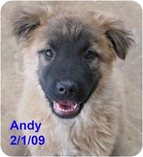 keeshond golden retriever mix andy adopted puppy poway ca keeshond golden retriever mix