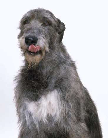 Wolfhound Shedding by How Was A Corso Originally Bred Breeds Picture