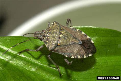 brown marmorated stink bug halyomorpha halys hemiptera