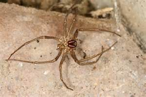 house spider s shed skin eratigena atrica