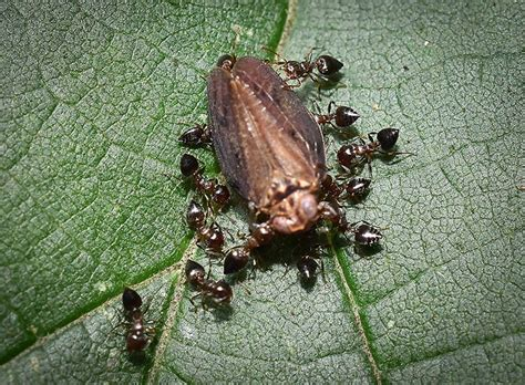 do roaches eat bed bugs ant pictures in nyc nyc pest control exterminators bed