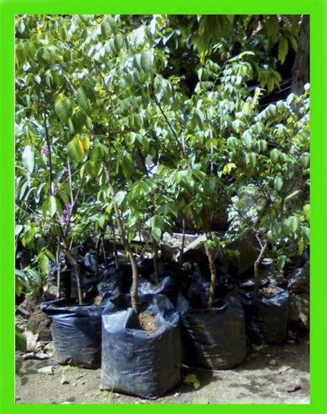 Jual Bibit Arwana Tangerang jual bibit tanaman buah