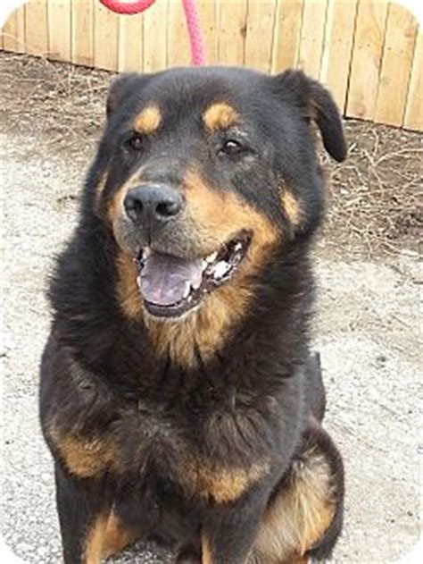 rottweiler rescue indiana ready for adoption black labrador retriever rottweiler mixed breeds picture