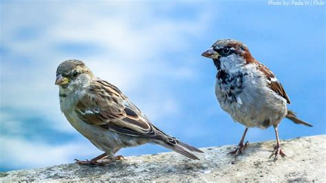 interesting facts about house sparrows just fun facts