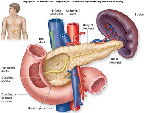 diagram of pancreas in pancreas in diagram pancreas free engine image for