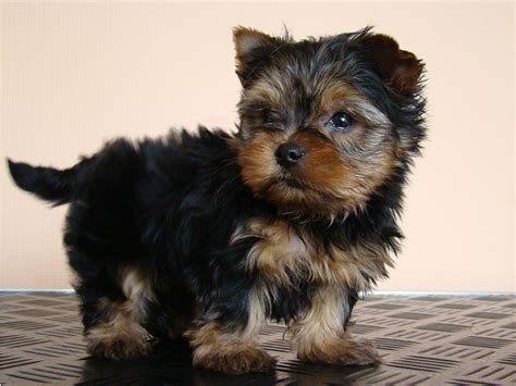 baby yorkies adoption free teacup yorkie puppies for adoption breeds picture