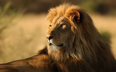 imagenes de leones solitarios imagenes de leones abril 2013