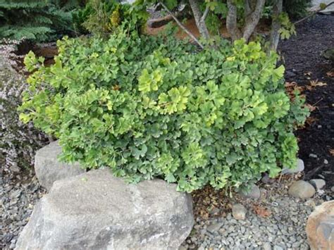 ginkgo biloba mariken 736 204 best ideas about things in my garden on