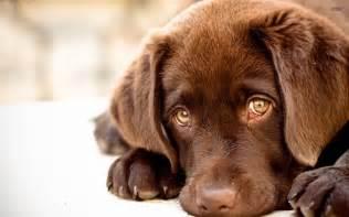 labrador tattoo sfondo cucciolo labrador sfondi hd gratis