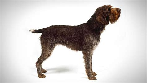 griffon dogs wirehaired pointing griffon breed selector animal planet