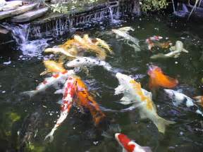 how to design koi pond koi fish care info