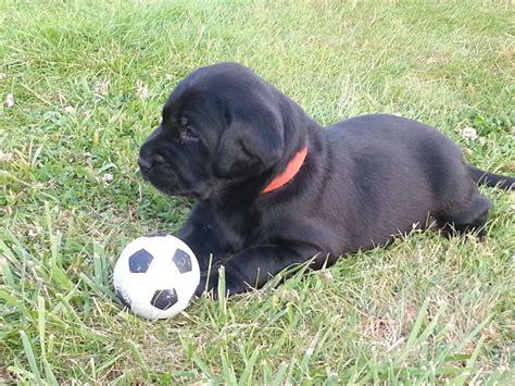 black labrador puppies black labrador puppies k c registered 1 left langley hertfordshire