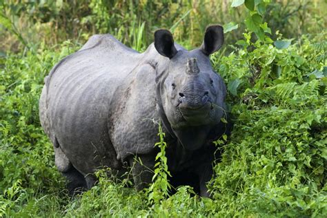 le rhinocros dor 2362790452 la faune des montagnes et de la jungle bhoutan