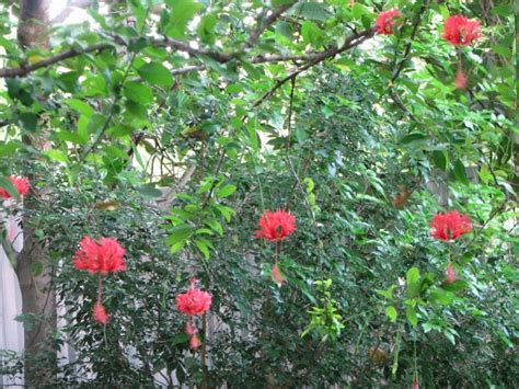 China Garden Cocoa Fl by Hibiscus Schizopetalus Lantern Lantern