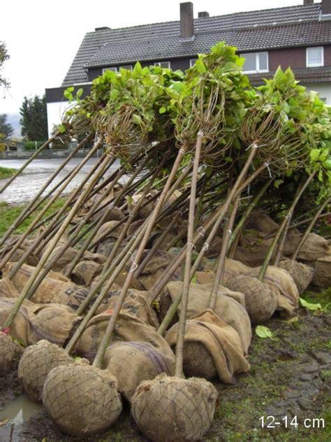 kugel trompetenbaum kaufen gro 195 ÿer alter kugel trompetenbaum kaufen mr