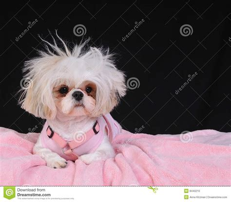 shih tzu and bad shih tzu bad hair day stock photo image 8440210