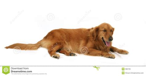 golden retriever puppies las vegas golden retriever puppy clipart more information wypadki24 info