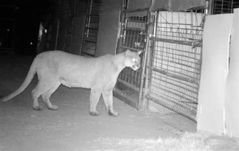 trabuco canyon   club loses prized pygmy goats  mountain lion attack orange county register