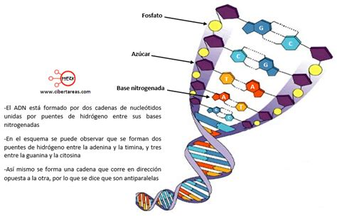 cadena de adn bases nitrogenadas adn biolog 237 a 1 cibertareas