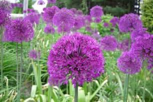 Flowers Paradise Ca - allium alert about those tall purple balls journal