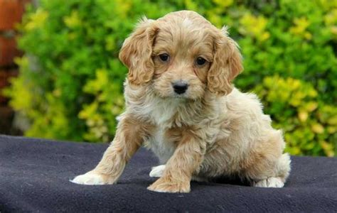cockapoo puppies for adoption attractive cockapoo puppies with pedigree for free adoption for sale adoption in hong