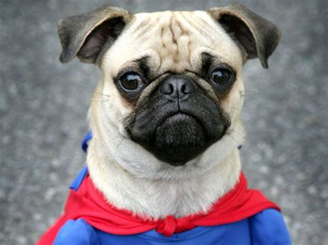 pictures of pugs dressed up pug costume here is a pug dressed up in a blue and costume