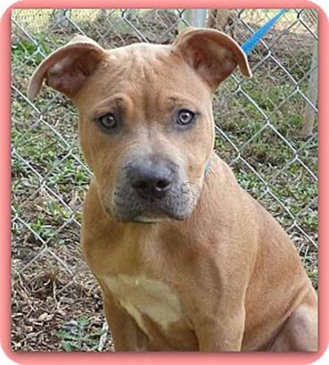 pitbull golden retriever mix temperament pit bull retriever mix pictures to pin on pinsdaddy