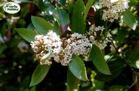 arbusto con fiori bianchi profumati acokanthera un arbusto profumato ma assai velenoso