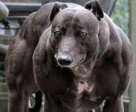 muscular dogs muscular cows what is genetic