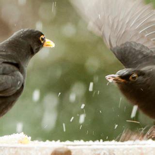 blackbirds facts  male female blackbirds  rspb
