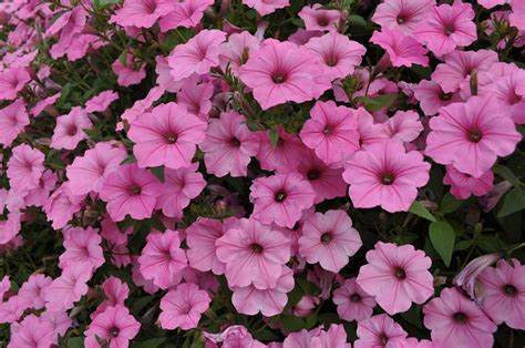 Garden Flowers Annuals Annuals Flowers Usage In Your Garden Landscaping