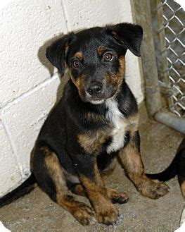 rottweiler australian shepherd mix puppies max adopted puppy middletown ri rottweiler australian shepherd mix