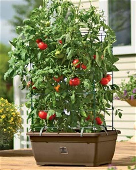 review  watering tomato planter  growing patio