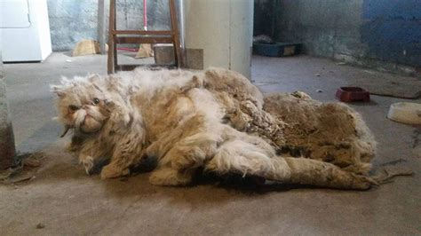 chicago cat suffered with 5 pounds of matted fur now he s
