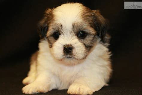mal shi puppies for sale mal shi malshi puppy for sale near columbus ohio 9b0d4b8f 3701 pets world