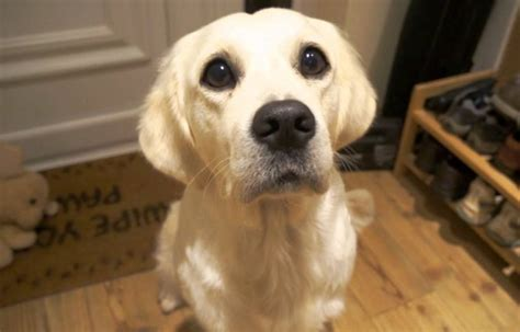 how to your to beg why dogs beg and how to correct the begging behavior in 5 steps urdogs