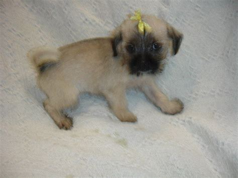 maltese pug gorgeous pug x maltese puppy for sale salford