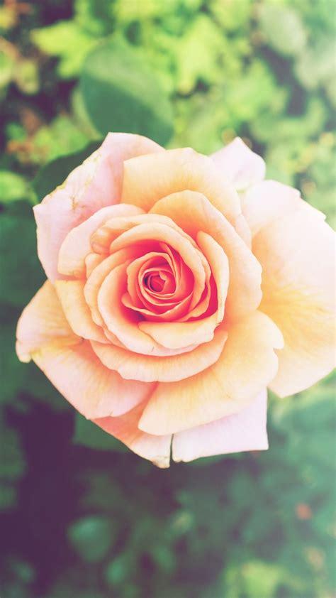 Pink Roses Iphone 6 Plus Hd Wallpaper Iphone Wallpapers | pink rose flower iphone 6 plus hd wallpaper hd free