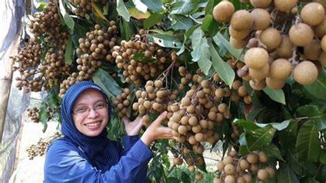 Bibit Kelengkeng Bogor tutorial panduan lengkap cara menanam kelengkeng dalam pot