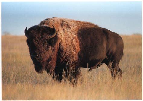 Buffalo L by Postcard American Bison Buffalo By Impact Beautiful