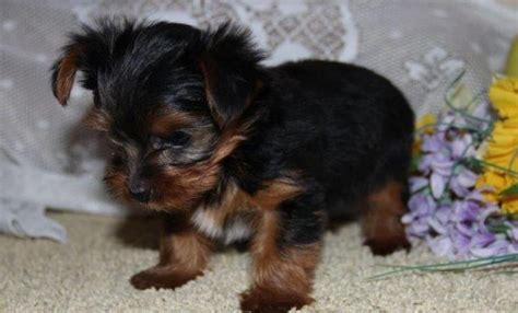 yorkie puppies for sale in winnipeg yorkie puppies for x mass text 774 234 8858