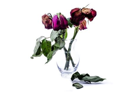 A Vase Of Roses Free Photo Flower Dead Wither Rose Death Free Image