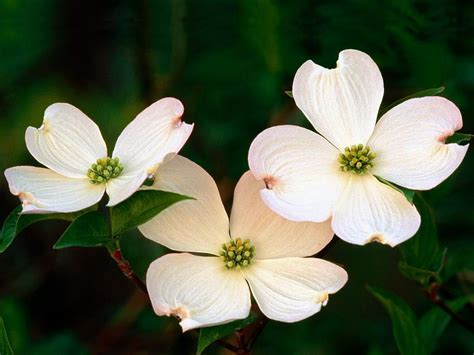 dogwood provincial flower and tree of british columbia